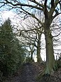 Trees and holly bushes on bridleway - geograph.org.uk - 1716687.jpg