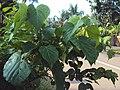 Trewia nudiflora.jpg