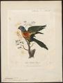 Trichoglossus novae hollandiae - 1789 - Print - Iconographia Zoologica - Special Collections University of Amsterdam - UBA01 IZ18500209.tif