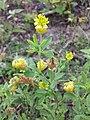 Trifolium aureum sl22.jpg