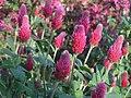 Trifolium incarnatum.Crimson Clover、 クリムソンクローバー・ベニバナツメクサ.JPG