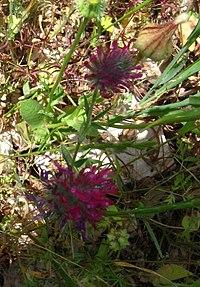 Trifolium purpureum Loisel