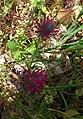 Trifolium purpureum Loisel.JPG