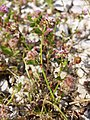 Trifolium resupinatum sl2.jpg