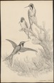 Trochilus nobilis - 1700-1880 - Print - Iconographia Zoologica - Special Collections University of Amsterdam - UBA01 IZ19100273.tif
