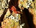 Trombidium holosericeum 5 Luc Viatour.jpg