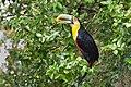 Tucano-de-bico-verde (Ramphastos dicolorus).jpg