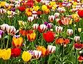 Tulips (18281388731).jpg