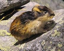 Isla de Wrangel-Geografía-Tunturisopuli Lemmus Lemmus