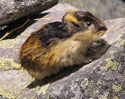 Resultado de imagen para Los lemmings noruegos. (Lemmus lemmus)