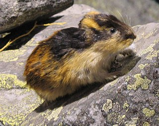 Tribe of rodents of the family Cricetidae