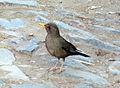 Turdus chiquanco (8394587786).jpg