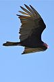 Turkey Vulture (6774904570).jpg