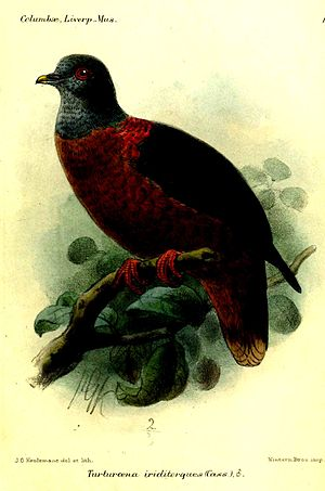 Western bronze-naped pigeon - Image: Turturoena Iriditorques Smit