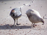 Two Gambel's Quail (Callipepla gambelii) - Paradise Valley, Arizona, ca 2004.png