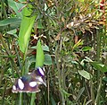 Two great eggflies (Hypolimnas bolina) mating, Mindanao, Philippines - 20110509.jpg