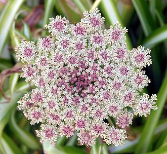 Apiales - Inflorescence of a wild carrot, Daucus carota, in the Apiaceae family.