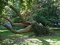 Un arbre très couché au nord-ouest du jardin du Luxembourg, Paris 2011.jpg