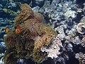 Un poisson clown dans une anémone.jpg