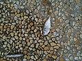 Unidentified bait fish caught by jigging, Bedok Jetty, Singapore - 20101120.jpg