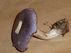 Unidentified mushroom - september 2013 12.JPG