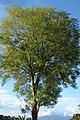 Urapán (Fraxinus udhei) (14957993132).jpg
