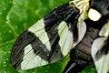 Urophora.cardui.wing.detail.jpg