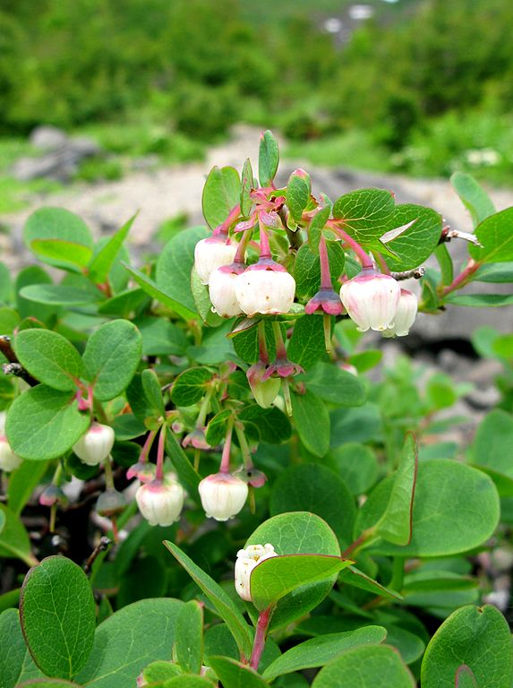 Brusnica barinná (Vaccinium uliginosum) - v kvete
