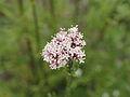 Valeriana officinalis-IMG 4288.jpg