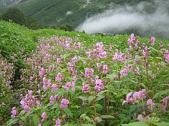 Valley of Flowers National Park - A scene from Valley of Flowers, Impatiens sulcata, This flower paints the Valley of Flowers in pink in the first week of August.