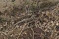 Varanus bengalensis 04685 (cropped).jpg