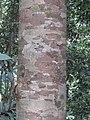 Vateria indica at Periya (1).jpg