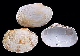 <i>Venerupis</i> genus of venerid bivalves