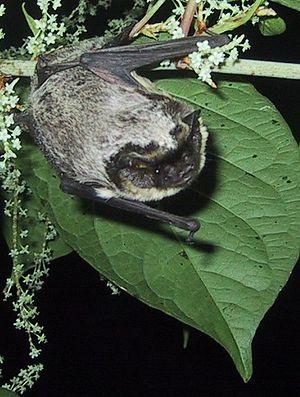 (European) two-colored bat (Vespertilio murinus)