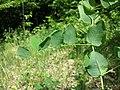 Vicia pisiformis sl5.jpg