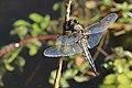 Vierfleck Libellula quadrimaculata 6444.jpg