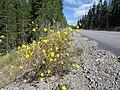 Viguiera multiflora (7990094819).jpg