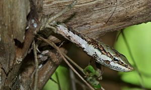 Vine Snake (Thelotornis capensis) (6011690147).jpg