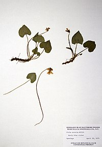 Viola sororia BW-1979-0430-0756.jpg