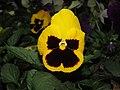 Viola tricolor var. hortensis, garden pansy from Nilgiris (5).jpg