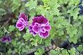 Violet Flower (46781236).jpeg