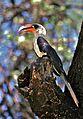 Von der Decken' s Hornbill (Tockus deckeni) (7667301372).jpg