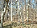 Wald auf Vilm.jpg