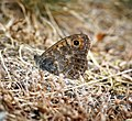 Wall Brown (35865170741).jpg