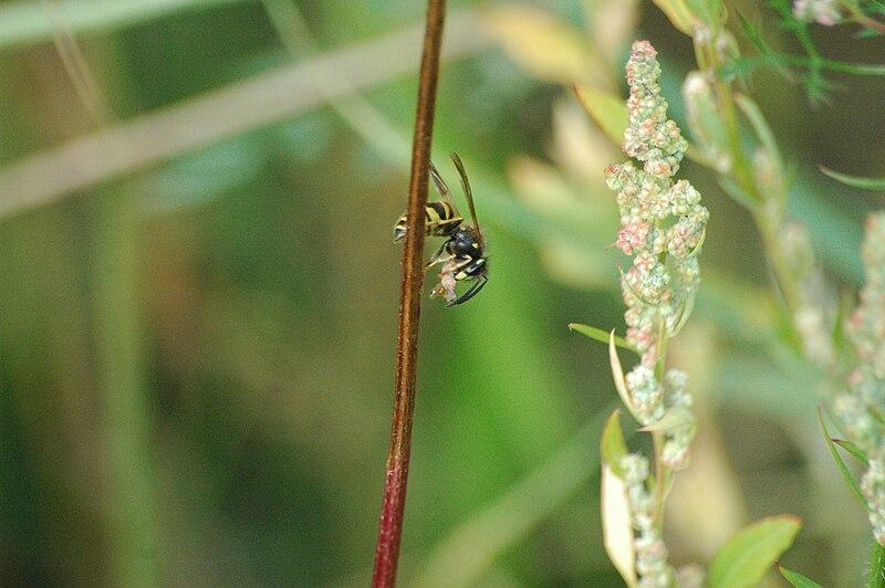 File:Wasp2009-09-13 (36).JPG