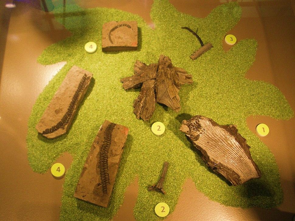Weichselia reticulata - fossils