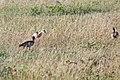 Western Serengeti 2012 06 03 3680 (7557823744).jpg