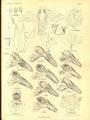 Wettstein - Monographie der Gattung Euphrasia (1896) - Taf. II.png