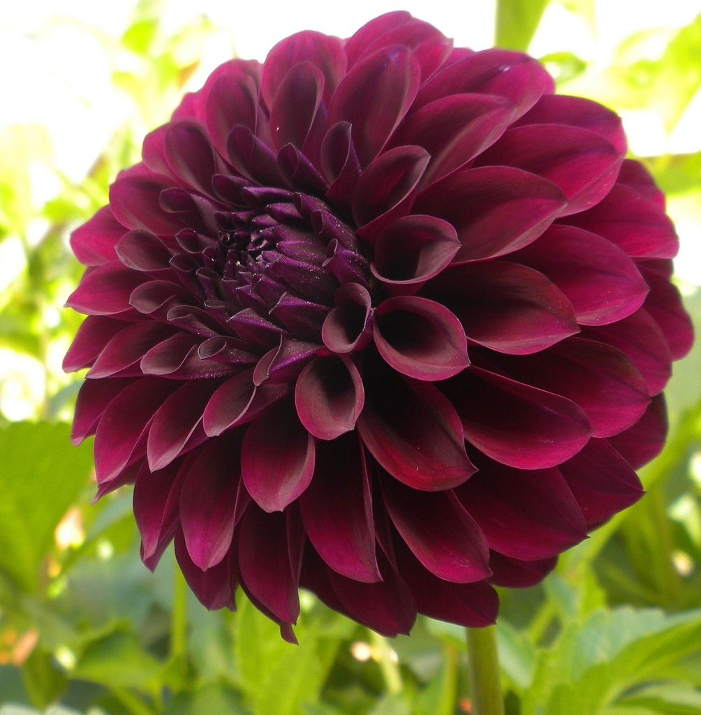 Filewhere does the exquisite black dahlia gets its color from 2g filewhere does the exquisite black dahlia gets its color from 2g izmirmasajfo Images