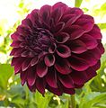 Where-Does-the-Exquisite-Black-Dahlia-Gets-Its-Color-From-2.jpg